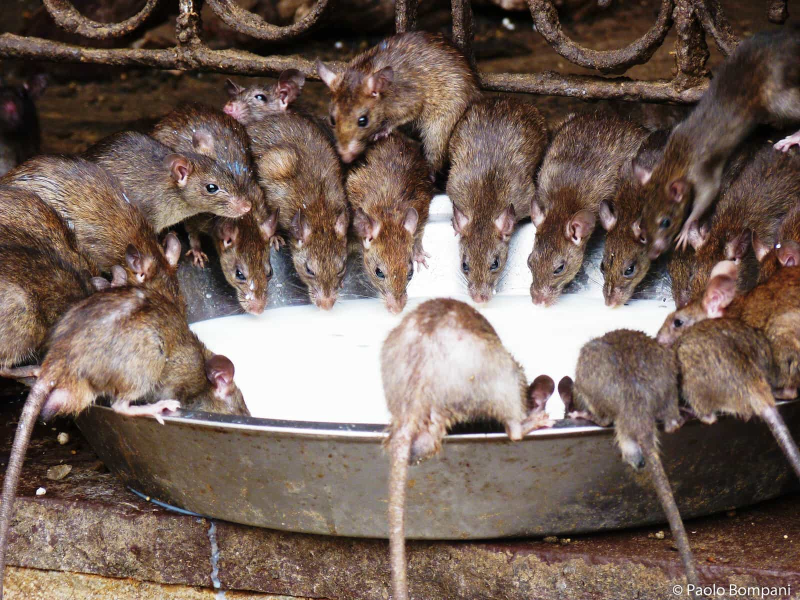 在這裡,人們信奉的是老鼠!歡迎來到印度「老鼠廟」