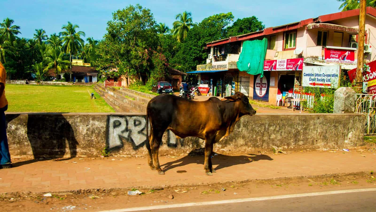 印度人為什麼天天吃咖哩:聖牛的感覺與漠不關心的人們