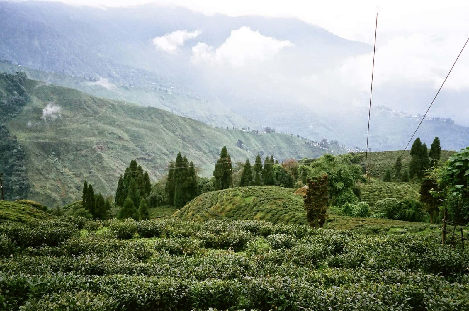 大吉嶺茶園之旅:搭乘玩具火車,品味「茶中的香檳」頂級印度紅茶與白茶